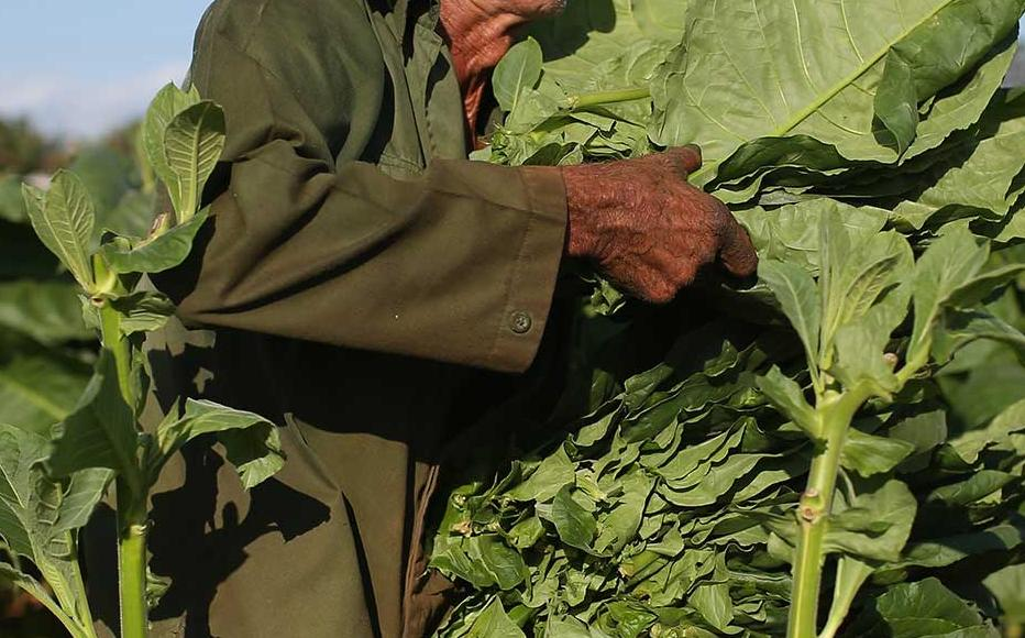 Lorenzo Rodriguez Hernadez harvesting tobacco leaves.