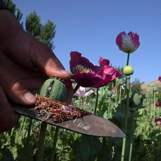 Poppy production is on the rise in Nimroz province. (Photo: Paula Bronstein/Getty Images)