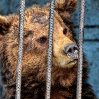 The bears found the conditions they were kept in distressing. (Photo: Raffi Berberian)