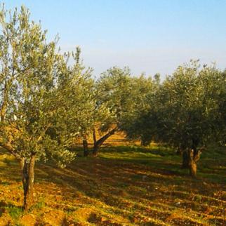 Neglected olive groves in Tal Minis, Idlib. (Photo: Manaf al-Hashash)
